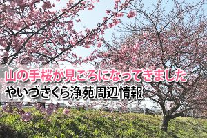 山の手桜が見ごろになってきました やいづさくら浄苑周辺情報